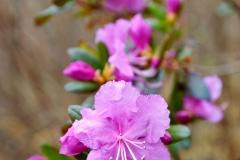 rododendron-daurskiy-foto-sergey-chumakov
